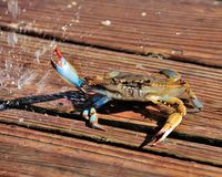 Water Fall. Ing on a blue crab Stock Photos