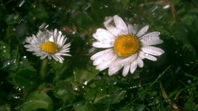 Water falling on daisys in garden Royalty Free Stock Photo