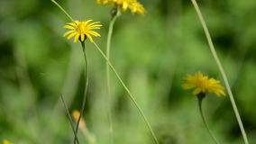 Water falling on yellow wild flowers. Water falling on flowers swinging in the wind with a green field background. Known as Scorzonera Angustifolia, Lineum gave stock video