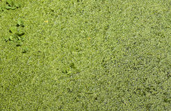 Water fern (Azolla) Stock Photography