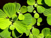 Water fern, mosquito fern Royalty Free Stock Photography