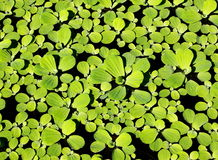 Water fern, mosquito fern Royalty Free Stock Images
