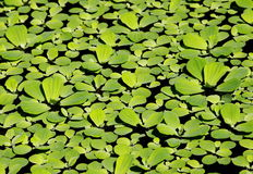 Water fern, mosquito fern. Middle size soft  green water fern, mosquito fern floating in a garden bowl close up under sunlight Royalty Free Stock Image