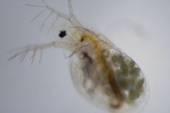 Water Flea, or Daphnia. The water flea, or Daphnia is zooplankton that primarily eats algae.  Although very small, they can still be seen with the naked eye, and Royalty Free Stock Photos