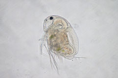 Water flea. Moina macrocopa under microscope view stock photos
