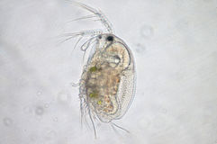 Water flea. Moina macrocopa under microscope view royalty free stock image