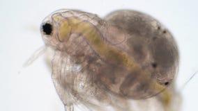 Water flea Moina macrocopa under microscope view.