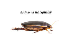 Water floating bug (Dytiscus marginalis). Isolated on a white background stock images