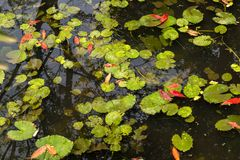 Lemna minor. Is the water floating plant lemnaceae. Warm climate and humid environment, avoid cold Royalty Free Stock Image