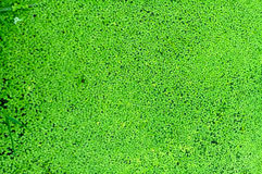 Water floats in duckweed leaves Royalty Free Stock Photos