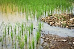 Water flow Rice field. Water flow in rice field For agriculture Stock Photo