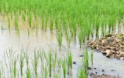 Water flow Rice field. Water flow in rice field For agriculture Stock Photography