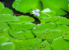 Water flower Royalty Free Stock Photos