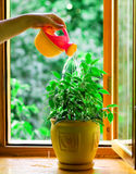 Water flower in a flowerpot. Human's hand water flower in a flowerpot Stock Photos