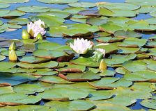 Water, Flower, Plant, Leaf Royalty Free Stock Images