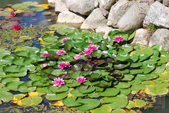 Water flowers. Blooming flowers float on water leaf on pond Stock Photos