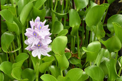 Water flowers with purple petals Stock Image