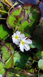 Water flowers. Two little white water flowers and Lilly leaves Royalty Free Stock Image