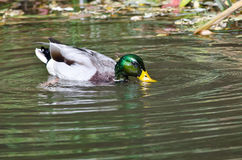 Water Flowing Off Head of Mallard Duck Royalty Free Stock Images