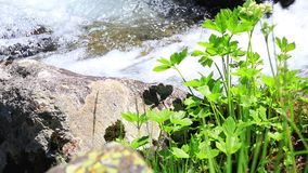Water flowing in a stream and plant. Water flowing in a Pyrenean stream and green plant stock video