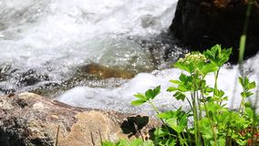 Water flowing in a stream and plant. Water flowing in a Pyrenean stream and green plant stock video footage