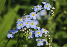 Water Forget-me-not Royalty Free Stock Photography