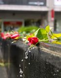 Water from a fountain flows down over red roses stock photography