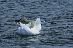 Swan Preening In The Lake stock photography