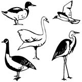 Water fowl Stock Photo
