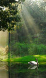 Water Fowl on Lake in Woods. Serene View of Gliding Water Fowl in Reflective Lake Under Sunbeams in Woods Stock Photo