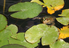 Water frog Royalty Free Stock Image