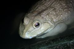 Water frog in frog farm. Closeup of water frog in frog farm stock image