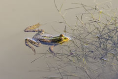 Water frog. (pelophylax) in a pond Stock Images