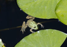 Water-frog in a pond Stock Photos