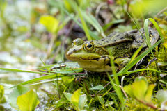 Water frog, Rana lessonae Stock Photography