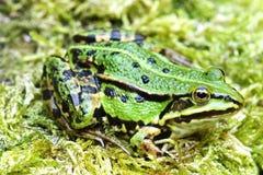 Water Frog Stock Photo