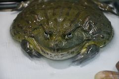 Water frog or Toad-Bull Pyxicephalus abspersus. In the terrarium royalty free stock photography