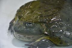 Water frog or Toad-Bull Pyxicephalus abspersus. In the terrarium royalty free stock photos