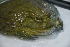 Water frog or Toad-Bull Pyxicephalus abspersus. In the terrarium royalty free stock images