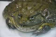 Water frog or Toad-Bull Pyxicephalus abspersus. In the terrarium stock image