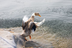 Into the water  in front of  a duck Stock Photography