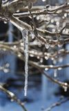 Crepe Myrtle Ice. Water frozen on a Crepe Myrtle Tree after a winter storm in Eastern North Carolina royalty free stock photos