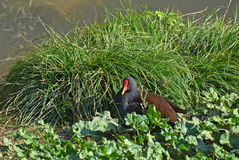Water gallinule resting. Water gallinule rest near the lake Stock Photo
