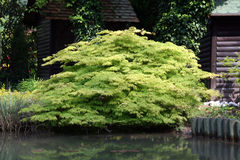 Water garden. With wood border and acer palmatum plants near the home small lake Stock Photo