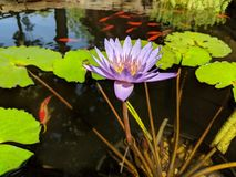 Water Garden and Pond with Purple Lilly Plants Fish. Water Garden Pond with Bloom Purple Lilly and Fish Stock Photo