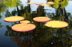 Water garden pond lotus in September Stock Photo