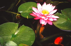 Water garden portraits. Gold fish swimming around a blooming water lily Stock Photography