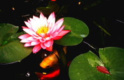 Water garden portraits. Gold fish swimming around a blooming water lily Royalty Free Stock Photography