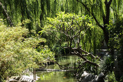 Water garden with trees weeping willow, frangipani, Japanese maple. Garden pond surrounded by trees including weeping willow, frangipani and Japanese maple stock photos