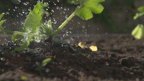 Water gevend courgetteinstallatie in een tuin, langzame motie, grondniveau stock video